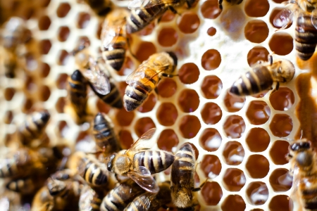 worker bees: Worker bees on honeycomb Stock Photo