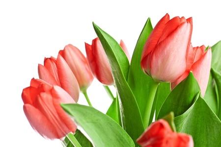 The fresh tulips isolated on white Stock Photo - 12657148