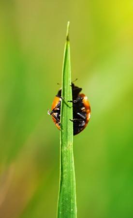 Ladybug on grass photo