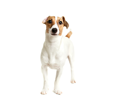 Jack Russell Terrier looking directly at camera with interested look photo