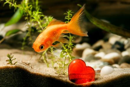 firefish: Goldfish and red heart in aquarium