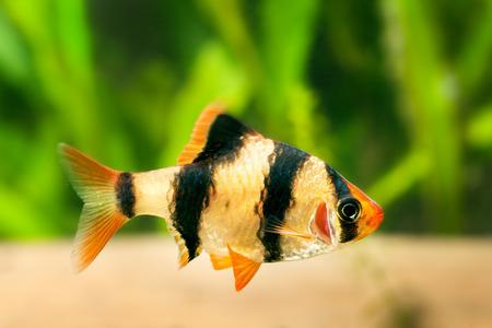 barbus: Aquarium fish - barbus Sumatra (Barbus pentazona)