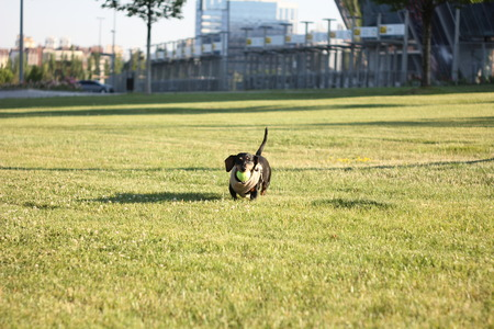 Small cute dachshund is running happy over the big urban lawn with a yellow ball