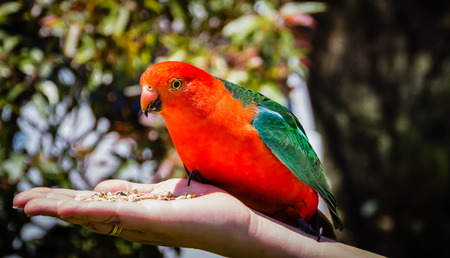 king parrot: King Parrot sitting on hand Stock Photo