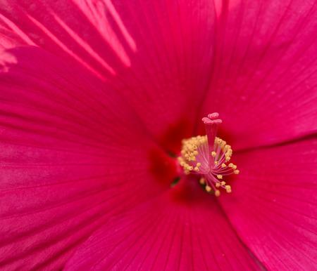 mallow: Rose Mallow