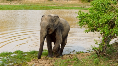 Aduly Asian elephant leaving a water hole after taking a drink with ripples fanninf out behind it Stock Photo - 14652889