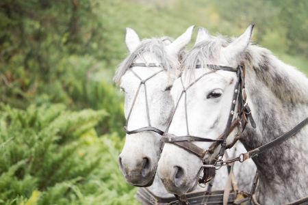 dapple grey: Closeup head portrait of a team of two dapple grey horses in a carriage harness against green foliage with copyspace Stock Photo