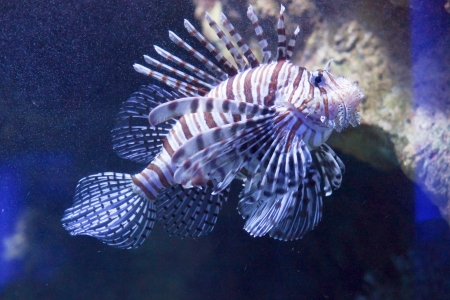 scorpionfish: Striped scorpionfish, a species of tropical fish with poisonous spiny barbs, swimming underwater Stock Photo