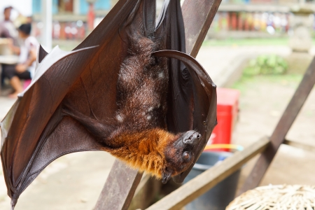 Large fruit eating flying fox hanging upside down fast asleep on a wooden frame outdoors in an urban environment Stock Photo - 16562770