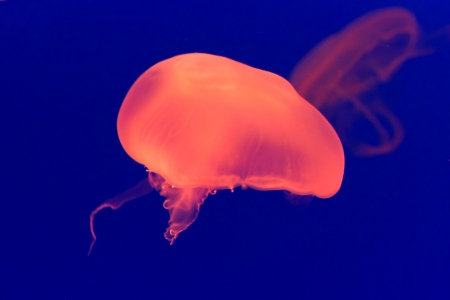 Large colourful orange jelly fish in the medusoid stage with a large float and trailing stinging tentacles swimming underwater Stock Photo - 16583459