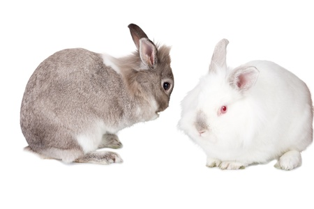 leporidae: Two pretty little bunny rabbits symbolic of Easter celebrations isolated on white with a fluffy grey cottontail carefully grooming itself watched by a pretty little pure white friend Stock Photo