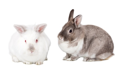 crouched: Two cute fluffy Easter bunnies isolated on white with a pretty grey cottontail sitting sideways facing to the left with its little white friend facing the camera Stock Photo