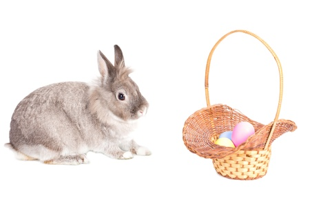 leporidae: Cute little fluffy grey Easter Bunny with a pretty wicker basket filled with traditional painted Easter eggs in the soft pastel colours of spring isolated on white