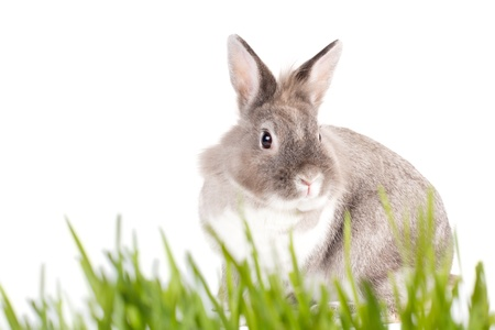 seasonal greeting: Pretty little grey and white furry Easter Bunny on a spring meadow of fresh green grass against a white background with copyspace for your seasonal greeting