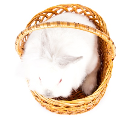 leporidae: Overhead view of a cute little fluffy white bunny sitting quietly in a wicker basket with a handle isolated on white, symbolic of the Easter season