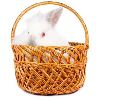 leporidae: Curious small fluffy white Easter bunny rabbit in a wicker basket peeking over the top of the rim isolated on white