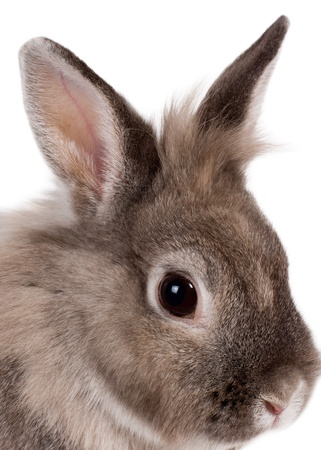 leporidae: Sideways head portrait of a beautiful little grey brown pet rabbit keeping a beady eye on the camera isolated on white
