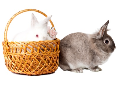 leporidae: Two cute little pet bunny rabbits isolated on white, with a fluffy white one peering over the rim of a wicker basket at a grey cottontail sitting sideways alongside it