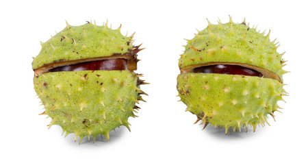 Chestnuts in their outer green burr or husk which is partially cracked open to reveal the brown kernels inside over white photo
