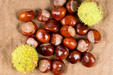 Overhead view of the edible seeds of the Castanea tree, known as the sweet chestnut, used as a cooking ingredient and roasted as a delicious snack