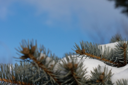 Snow-laden pine branches against a blue sky on a clear crisp winter day with copyspace photo