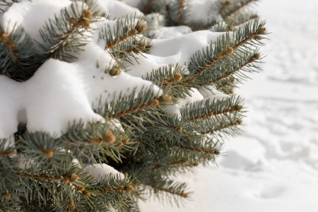 Winter snow on pine branches with tiny natural cones at the tips over a background of pristine white frsh snow ion the ground
