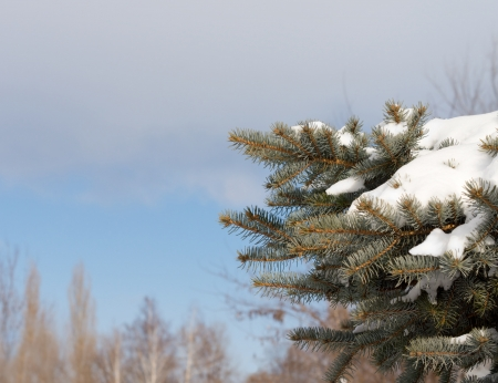 Snowy pine branch with a fresh white covering of winter snow against a clear blue winter sky with copyspace photo