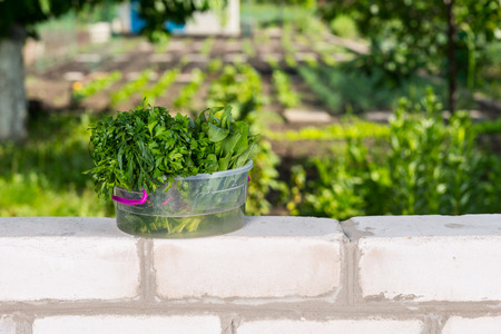 bordering: Fresh Picked Greens in Transparent Bucket on top of Brick Wall Bordering Vegetable Garden Stock Photo
