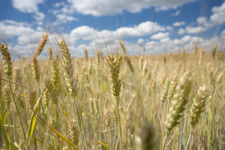 winter wheat: Ripening ears of wheat in a rural wheat field cultivated for human consumption or to feed livestock during winter, landscape view under a blue cloudy sky