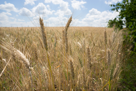 fodder: Close up of ripening ears of golden wheat in a farm field grown as a foodstuff and staple for humans or as silage and fodder for livestock Stock Photo