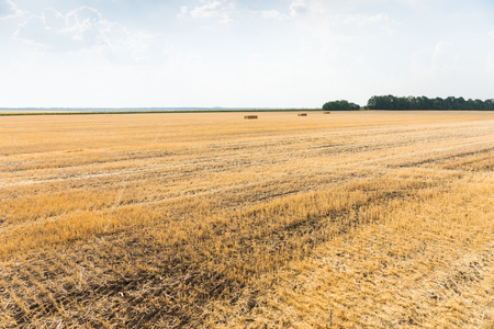 harvests: Wheat stubble in a harvested field on a farm or ranch with a few remaining bales visible in the far distance