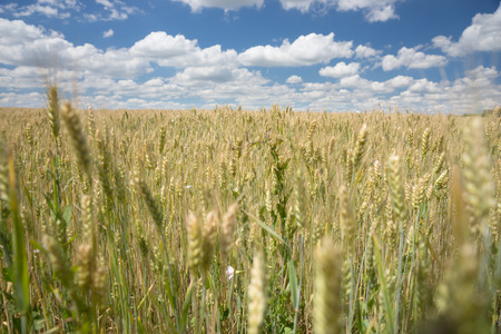 agricultura: Cerca de las orejas de maduración jóvenes sanos de trigo en un campo agrícola bajo un soleado cielo azul con nubes blancas