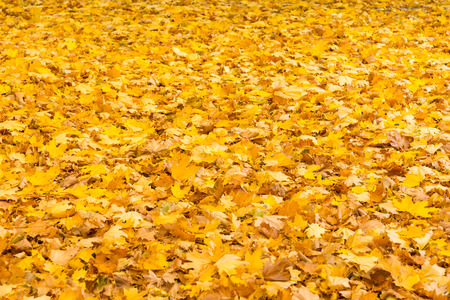 carpeting: Background texture of vivid yellow autumn or fall leaves carpeting the ground conceptual of changing seasons Stock Photo