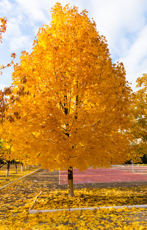 changing seasons: Colorful yellow autumn tree with vivid bright colorful leaves in a concept of the changing seasons