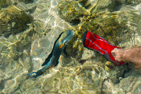 Male feet in red aqua shoes near swims surgeon fish between reefs and corals under the sea on a sunny summer day