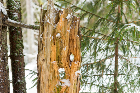 Chopped snow-covered tree trunk between trees in the forest during winter period