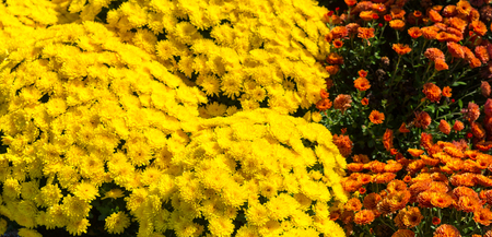 A bunch of beautiful yellow and orange chrysanthemum as background picture in a park Stockfoto