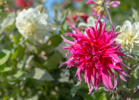 Pink and white dahlia flowers against green leaves in a park Stock Photo
