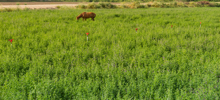 Distant single brown horse grazing in a lush green spring pasture in a flat open rural landscape