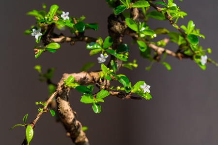Close up on the branches and fresh green leaves of a bonsai tree over a dark grey background 스톡 콘텐츠