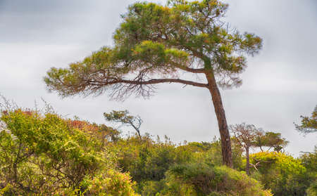 Wind blown pine tree with branches all to one side growing amongst leafy green bushes against a hazy blue sky