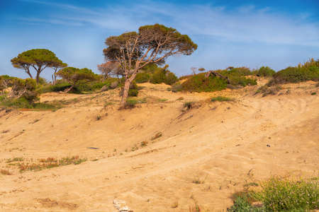 Off-road trail leading through coastal sand dunes with scrubby vegetation and windswept pine trees leaning to the side in a scenic landscape