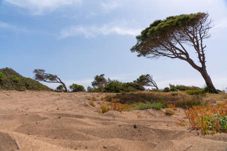 Low angle view of a vegetated coastal sand dune with pine tree leaning to the side from the wind and low scrub with leafy green bushes 스톡 콘텐츠