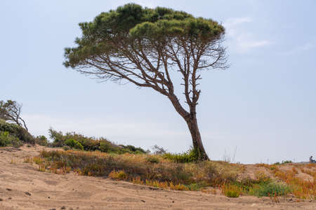 Wind blown pine tree with trunk leaning to the side on a sand dune with sparse scrub vegetation against a sunny blue sky with distant person on the skyline 스톡 콘텐츠