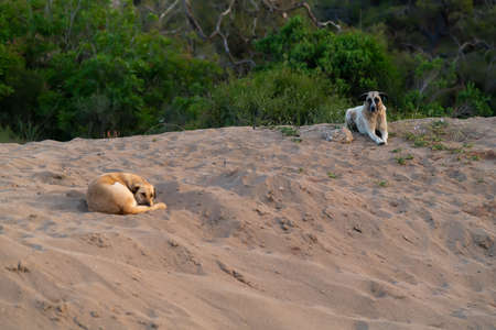 Two obedient dogs lying waiting for their owner on a sandy beach or dune with copyspace below