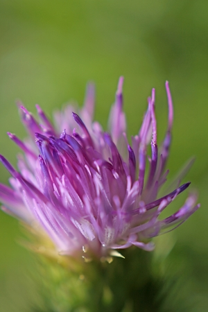 Purple asteracee family flower on green background