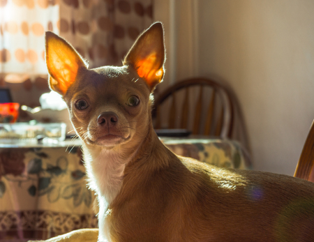 Calm red chihuahua lonely at home Stock Photo