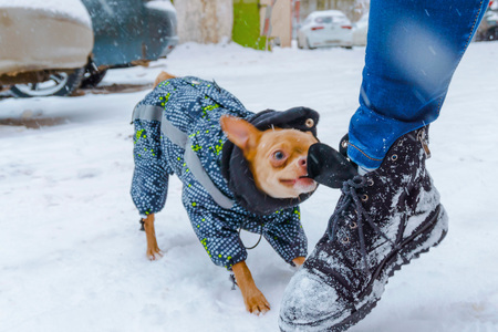 Red chihuahua bites for a boot on the street in winter in white snow