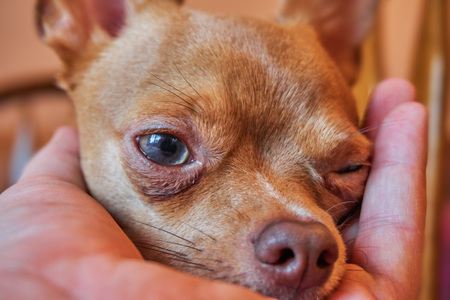 Lovely red chihuahua at home on a very cute chair Stock Photo