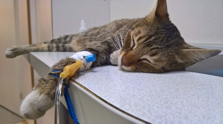 A beautiful striped cat with an intravenous catheter on the front paw obtains the required drug solution for recovery